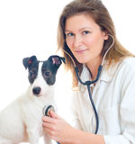 Female veterinarian examining jack russell terrier. With stethoscope. Isolated on white royalty free stock photography