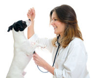 Female veterinarian examining jack russell terrier. With stethoscope. Isolated on white stock photos