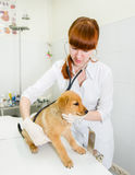 Female veterinarian examining a puppy dog Stock Image
