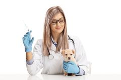 Female veterinarian holding an injection for a little puppy stock images