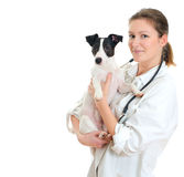 Female veterinarian holding jack russell terrier. Isolated on white stock photos