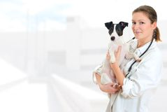 Female veterinarian. Holding jack russell terrier on hospital background stock image
