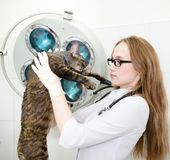 Female veterinarian with tabby cat in vet office.  royalty free stock images