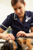 Female Veterinary Surgeon Examining Dog Royalty Free Stock Photo