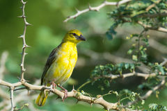 Female Village Weaver Royalty Free Stock Photography