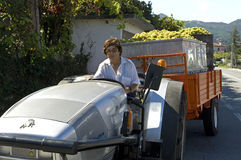 Female vintner driving tractor with load grapes Royalty Free Stock Images