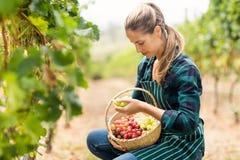 Female vintner holding a basket of grapes Royalty Free Stock Image