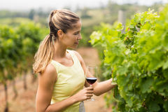 Female vintner holding wine glass and inspecting grape crop Royalty Free Stock Photos