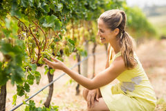 Female vintner inspecting grapes Stock Image