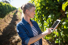Female vintner using digital tablet in vineyard. On a sunny day Royalty Free Stock Photography