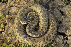 Female vipera ursinii in situ Royalty Free Stock Photo