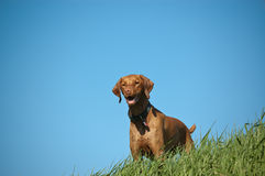 Female Vizsla Dog on a Grassy Hill. A female dog stands on a grassy hill with bright blue sky in the background Stock Images