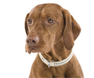 Female Vizsla portrait. Stock Photos
