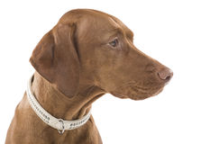 Female Vizsla portrait. Stock Image