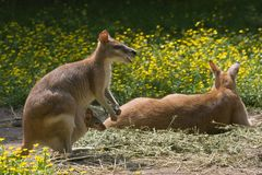 Female wallaby with joey in pouch-horizontal Stock Images