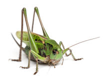 Female wart-biter, a bush-cricket Royalty Free Stock Images