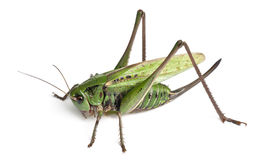 Female wart-biter, a bush-cricket, Decticus Stock Images
