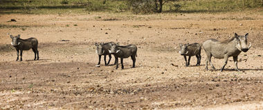 Female Warthog With Four Piglets Stock Photos