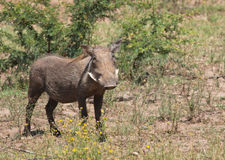Female warthog from front Royalty Free Stock Images