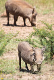 Female warthog on knees Royalty Free Stock Images