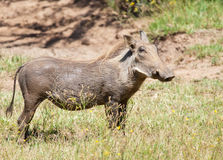 Female warthog looking far ahead Stock Image