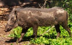 Female Warthog Phacochoerus africanus Stock Photos