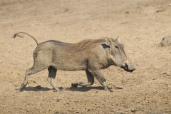 Female Warthog (Phacochoerus africanus) running, South Africa Stock Image