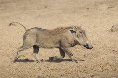 Female Warthog (Phacochoerus africanus) running, South Africa. A female warthog running (Phacochoerus africanus) in Kruger Park, South Africa Stock Image