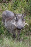 Female Warthog Royalty Free Stock Photography