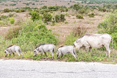 Female warthog with three piglets Royalty Free Stock Photo