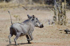 Female warthog veld background Royalty Free Stock Image