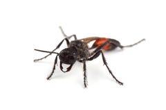 Female of wasp (Podalonia hirsuta) isolated on white Royalty Free Stock Photos