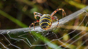 Female wasp spider. At the center of its web in dew Royalty Free Stock Image