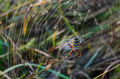 Female wasp spider. At the center of its web in dew Stock Image