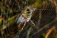 Female wasp spider. At the center of its web in dew Stock Photos