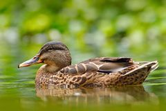 Female of Water bird Mallard, Anas platyrhynchos, with reflection in the water. Bird in the river. Animal in the river habitat. Gr Stock Image