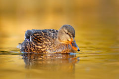 Female of Water bird Mallard, Anas platyrhynchos, with reflection in the water. Bird in the river. Animal in the river habitat. Stock Photos