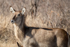 Female Water Buck. A female water buck looking off into the distance Royalty Free Stock Photo