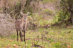 Female water buck in South Africa Stock Images