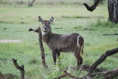 Female Waterbuck. A beautiful waterbuck doe watches from a field in Botswana Royalty Free Stock Photography