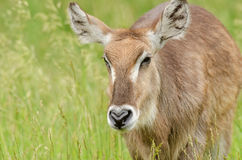 Female Waterbuck Royalty Free Stock Images