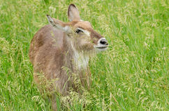 Female Waterbuck Royalty Free Stock Photography