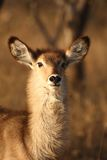 Female Waterbuck Stock Photo