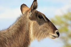 An  Female Waterbuck Royalty Free Stock Image