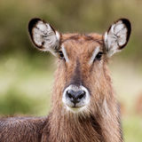 Female Waterbuck Close Up. Close up portrait of a female waterbuck. Scientific name: Kobus ellipsiprymnus royalty free stock images