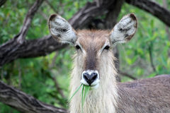 The female Waterbuck eats grass and looking at the camera Royalty Free Stock Photo