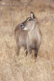Female waterbuck grazing Royalty Free Stock Photos