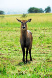 Female Waterbuck , Kidepo Valley National Park Stock Photo