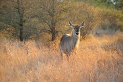 Female Waterbuck (Kobus ellipsiprymnus) Stock Photos