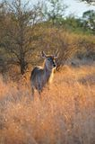 Female Waterbuck (Kobus ellipsiprymnus) Royalty Free Stock Image